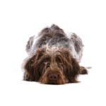 Petland Gallipolis, OH German Wirehaired Pointer