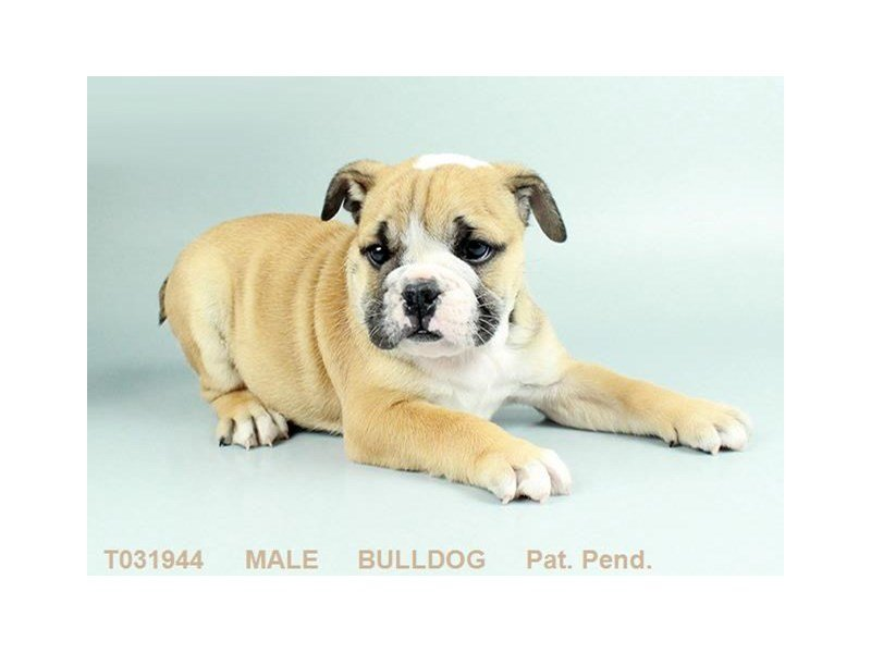 English Bulldog-Male-FN:WH MKGS-2276368-Petland Gallipolis, OH