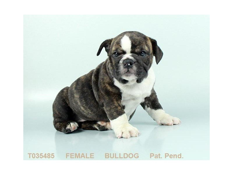 English Bulldog-Female-BRDL:WH MKGS-2319057-Petland Gallipolis, OH
