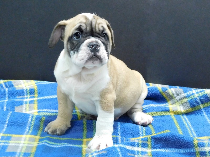 English Bulldog-Male-Fawn & White-2766459-Petland Gallipolis, OH